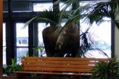 Este enorme alce se cuela en un hospital de Alaska y se merienda las plantas del vestíbulo