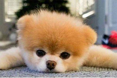 Murió Boo, el perro más 'lindo' del mundo, de un vulgar ataque al corazón
