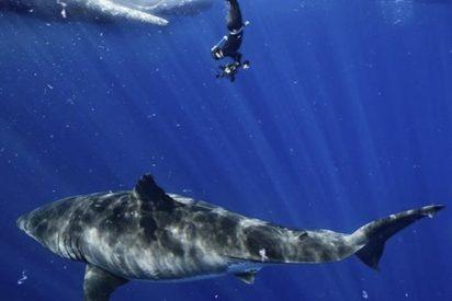 Logran grabar al colosal 'Deep Blue', el tiburón blanco más grande del mundo