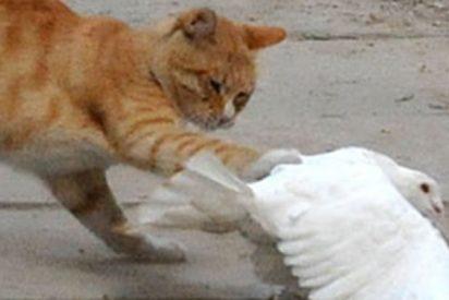 La amistosa pelea entre esta paloma y un gato se hace viral y ya verás por qué