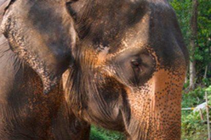 Este elefante exige que su cuidador juegue con él golpeándolo con la trompa