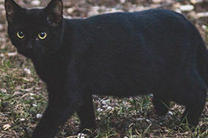 Esta gata negra da un susto de muerte a dos zorros árticos en un zoo