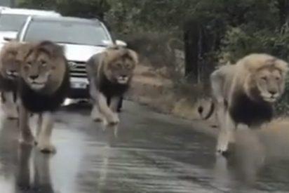 Reyes de la carretera: Estos 4 leones se 'apoderan' de una autopista en Sudáfrica