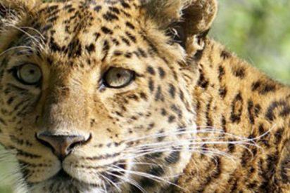 Este leopardo salvaje irrumpe en una ciudad de India y hiere a tres personas