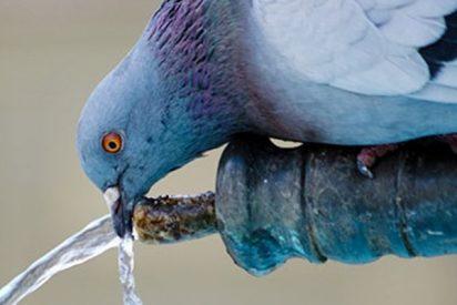 Esta paloma sedienta espera ayuda humana para activar un bebedero en Nueva York