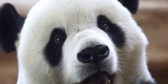Este panda juega con un cuchillo de carnicero al confundirlo con un tallo de bambú