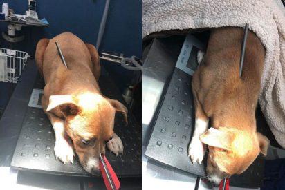 Fotos: Una perra sobrevive a un flechazo en la cabeza