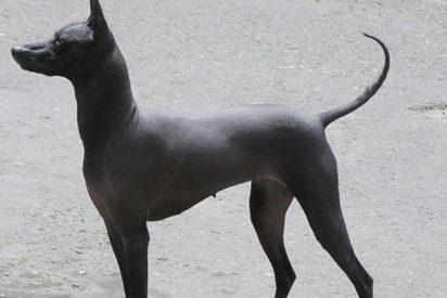 Las redes confunden a este perro sin pelo con una estatua