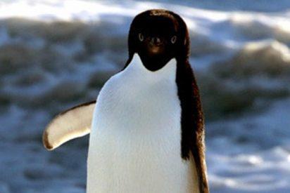 Este pingüino salta 'in extremis' al estilo Indiana Jones para no quedar aislado en el hielo