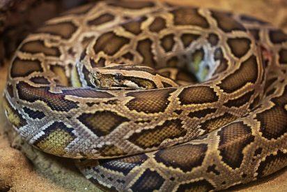 Encuentran a una fanática de las serpientes con una pitón envuelta en su cuello