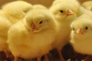 Industria avícola: este es el terrible destino de los pollitos macho que preferirás no saber