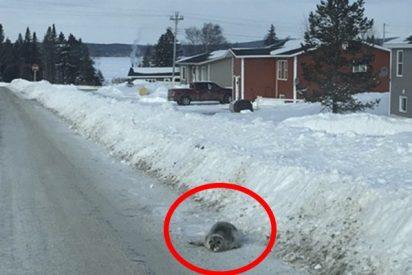 Este pueblo de Canadá pide ayuda tras ser invadido por decenas de focas