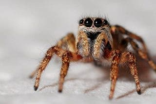 Las arañas devoran serpientes hasta 30 veces más grandes