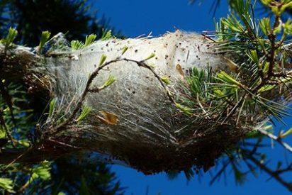 Una plaga de procesionaria ataca el pinar de Sabón