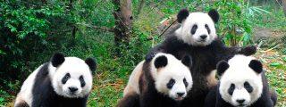 La niña cae al foso de los pandas en el zoológico y pasa esto…