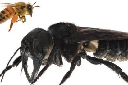 La Megachile Plutón, la abeja más grande del mundo, reaparece en Indonesia 38 años después