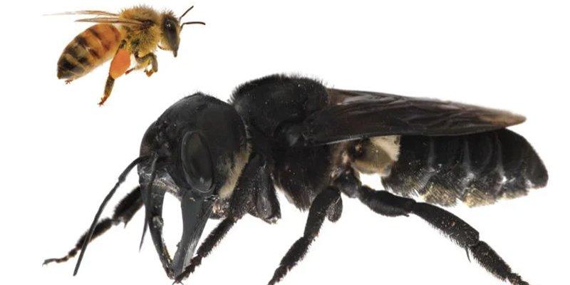 La abeja más grande del mundo no se ha extinguido, como afirmaban algunos