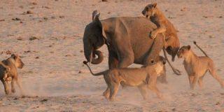 El elefantito planta cara a 14 feroces leonas y... ¡gana!
