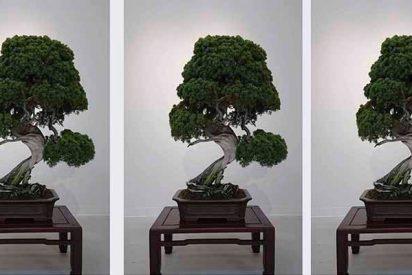Roban un bonsái de 400 años en Japón y su dueño sólo pide que 'le den agua'