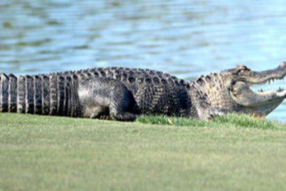 Este caimán se cuela en un torneo de golf en Florida y roba una bola