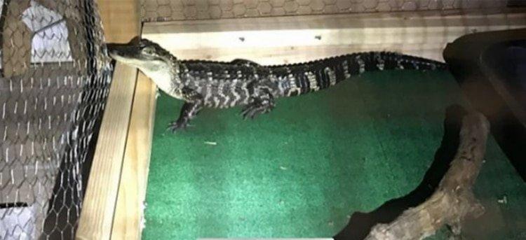 Un caimán, el guardían que encontró la Policía en un allanamiento por drogas