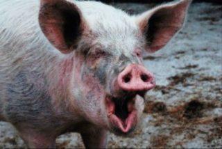Una mujer rusa ha sido devorada por sus cerdos mientras les daba de comer