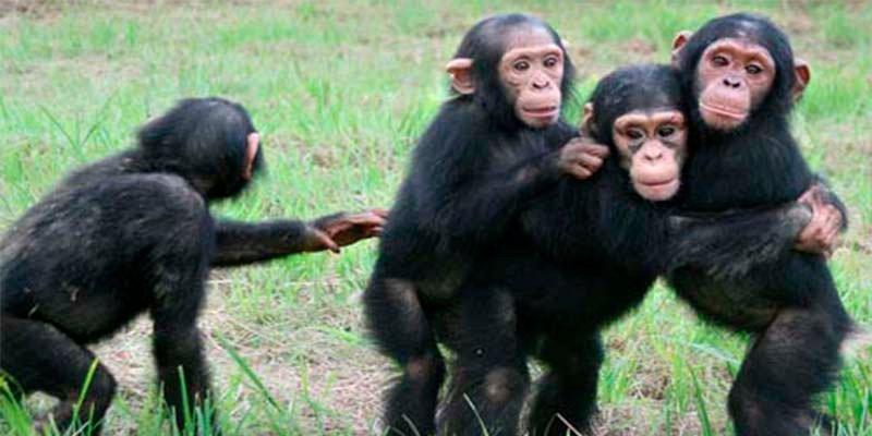 Los seres humanos cazaron monos en el sur de Asia hace 45.000 años
