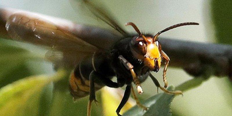 La avispa asiática ya tiene archienemigo en España: el abejero europeo