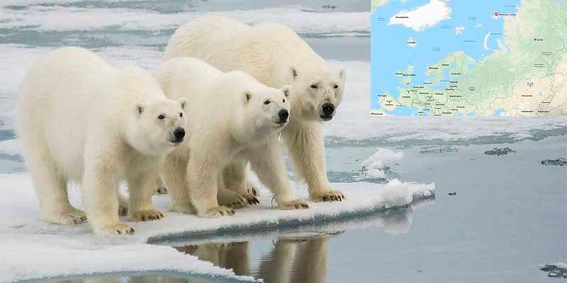 Estado de emergencia en Rusia por una 'invasión' de osos polares