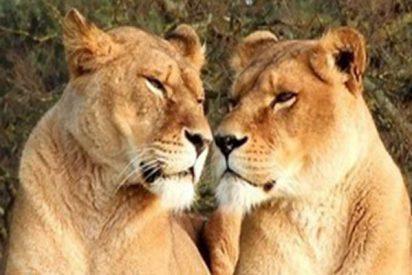 El momento exacto en que un león se interpone en el camino de una leona y le arruina la caza