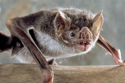Los murciélagos portan un virus de la gripe que puede contagiarse a personas