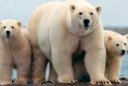 Pillan a este oso polar colándose en una casa