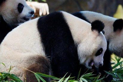 Una niña cae al foso de los pandas en un zoológico y pasa esto…