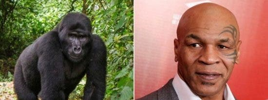 La locura de Mike Tyson: Intentó sobornar a un cuidador para boxear contra un gorila