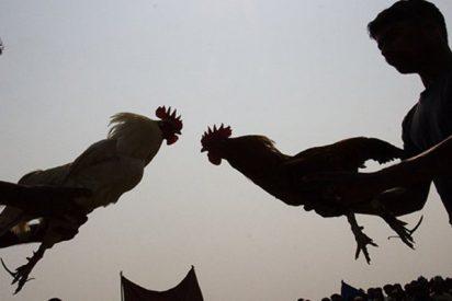 Un gallo se rebela contra su dueño durante una pelea