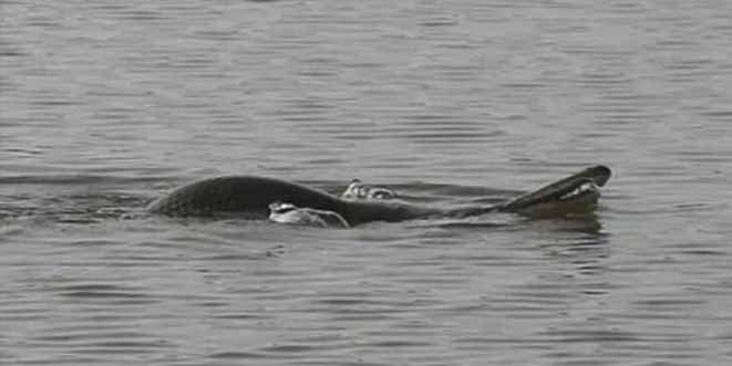"""El monstruo acuático que conmociona a China: """"Cuerpo de tortuga, cabeza de serpiente"""""""