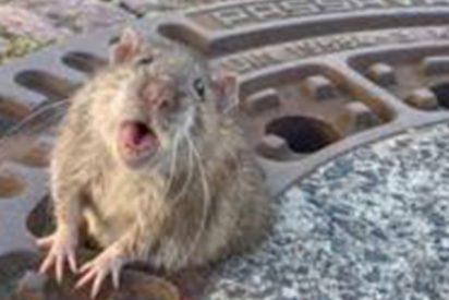 Triunfa en las redes el rescate de esta rata 'gorda' atascada en una alcantarilla en Alemania