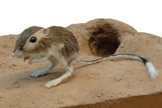 Las maniobras 'ninja' de la rata canguro en su batalla a muerte contra una serpiente cascabel