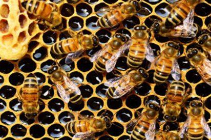 Descifran en 'Virginia Tech' el lenguaje de las abejas para ayudarlas a comer mejor
