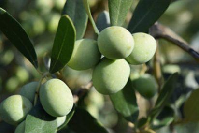 El aceite de oliva convierta a la gastronomía española en la más saludable y atractiva