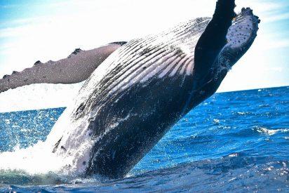 Una ballena se traga a un buzo y lo devuelve vivo en una playa de Sudáfrica