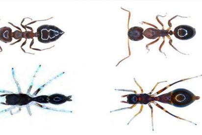 ¿Sabes por qué esta araña se disfraza de hormiga? ¡Sorprendente!