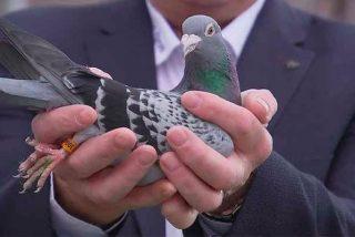 Los chinos pagan 1,25 millones por 'Armando', la mejor paloma mensajera del mundo