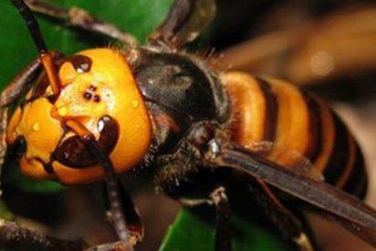 Los apicultores españoles alertan de la llegada a España de las peligrosas avistas 'asesinas' de la mandarina