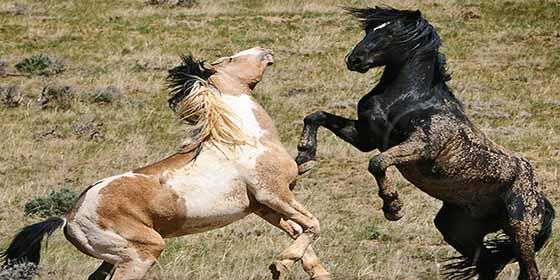 Estados Unidos recompensa con 1,000 dólares a quien adopte... un caballo o un burro