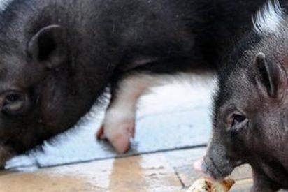 ¿Y que coño hago yo ahora con el cerdo vietnamita que tengo de mascota?