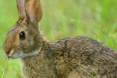 Comida: El conejo forma parte de la dieta humana hace 400.000 años