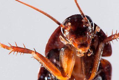 ¿Sabes por qué las cucarachas se están volviendo resistentes a los insecticidas?