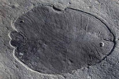 Dickinsonia: El fósil animal más antiguo es una impresión de su verdadero aspecto