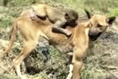 Esta perra cuida y amamanta a un pequeño mono en la India